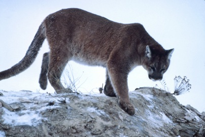 """Mountain-lion-01623"" by K Fink - NPS. Licensed under Public domain via Wikimedia Commons - http://commons.wikimedia.org/wiki/File:Mountain-lion-01623.jpg#mediaviewer/File:Mountain-lion-01623.jpg"