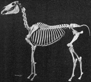 In this skeleton of an Arabian, it is clear that the horse's front limbs are pillar-like while the  hind limbs are angled for propulsion.