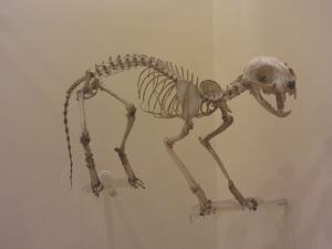 Cats are athletic and agile due to the angled nature of their limbs; however, their bodies could not support great weight.  By Les Chatfield from Brighton, England (Cat Skeleton  Uploaded by snowmanradio) [CC BY-2.0 (http://creativecommons.org/licenses/by/2.0)], via Wikimedia Commons