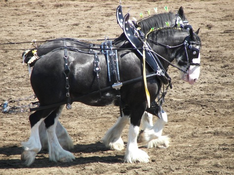 The lead pair of a six horse hitch of black Clydesdales.  By Blodyn (Own work) [CC BY-SA 3.0 (http://creativecommons.org/licenses/by-sa/3.0)], via Wikimedia Commons