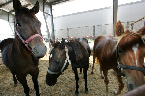 Several horses were brought in to the Animal Disaster Response Facility staged in the Ford Arena outside Beaumont following Hurricane Rita's landfall. Bob McMillan/ FEMA Photo