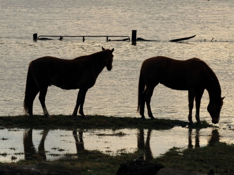Two horses in a flooded Missouri pasture.  FEMA photo.