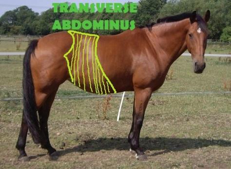 Transverse-Abdominus