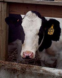 dairy cow.jpg